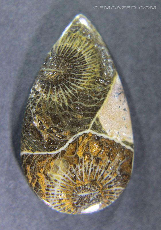 Fossil Coral Cabochon from Morocco mbc7